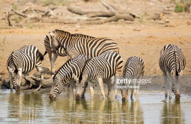 Zebras drinking, Burchells zebra, Equus quagga burchellii, Madikwe Game Reserve, South Africa.