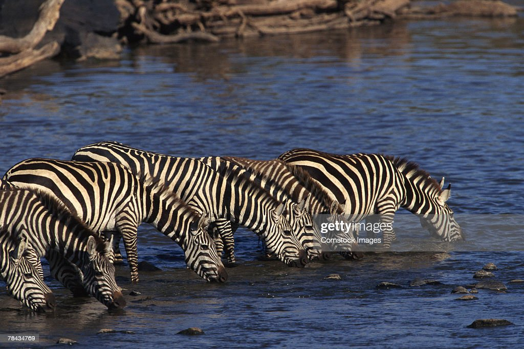 Zebras drinking water , Kenya , Africa : Stockfoto
