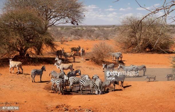 zebras, eland antelopes and wart hogs at waterhole, selenkay, amboseli, kenya - facocero foto e immagini stock