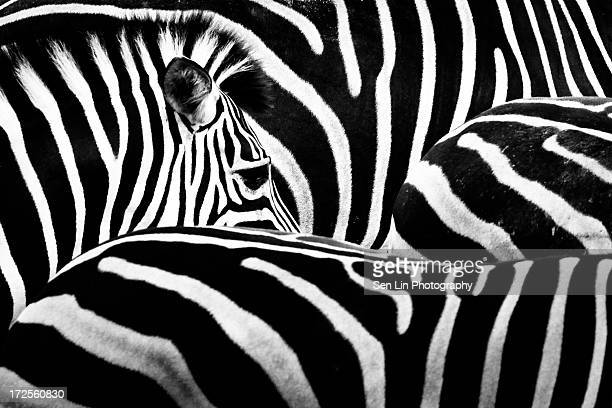 zebra's eye - zebra stock pictures, royalty-free photos & images