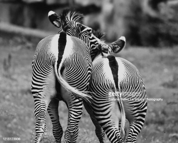 zebras from behind - animal behaviour stock pictures, royalty-free photos & images