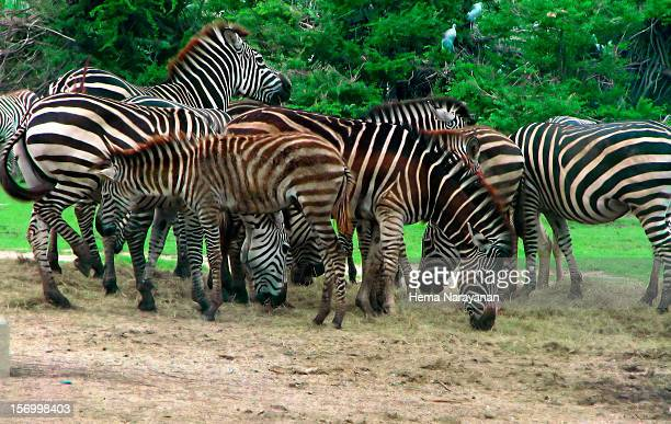 zebras galore! - hema narayanan stock pictures, royalty-free photos & images
