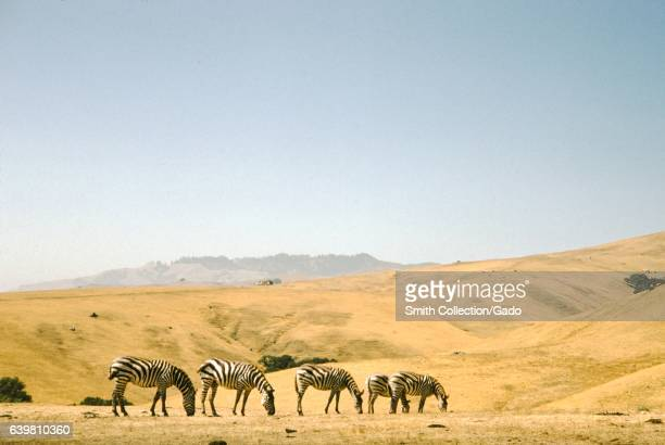 Zebras graze at the Hearst Castle Zoo in San Simeon California 1955