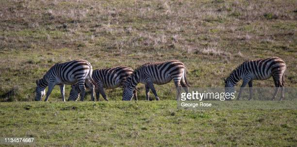 Zebras graze in a pasture at Hearst Ranch on February 21 near San Simeon California Because of its close proximity to Southern California and Los...