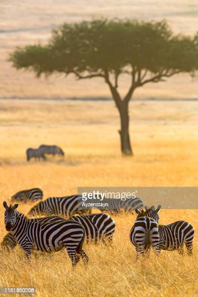 zebras grazing early in the morning with sunrise - safari animals stock pictures, royalty-free photos & images