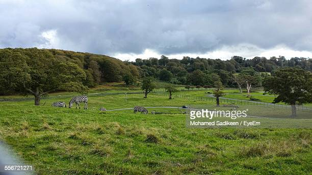 zebras grazing on grassy field against cloudy sky - longleat house stock pictures, royalty-free photos & images