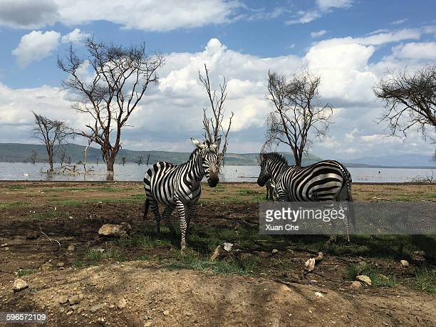 zebras grazing - xuan che stock pictures, royalty-free photos & images