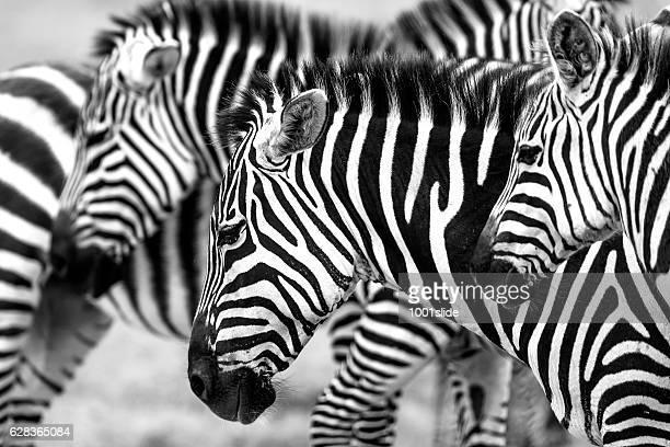 zebras heads - animal selvagem - fotografias e filmes do acervo