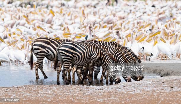 Zebras in Africa, herd drinking water.