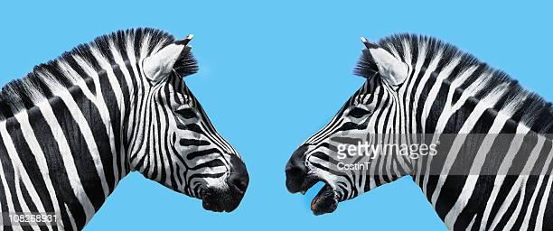Zebras in conversation