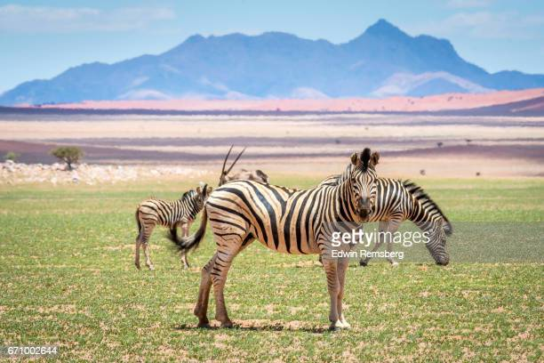zebras in etosha - namib naukluft national park stock pictures, royalty-free photos & images