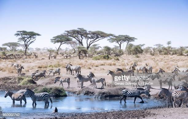 zebras in forest against clear sky - arusha national park stock photos and pictures