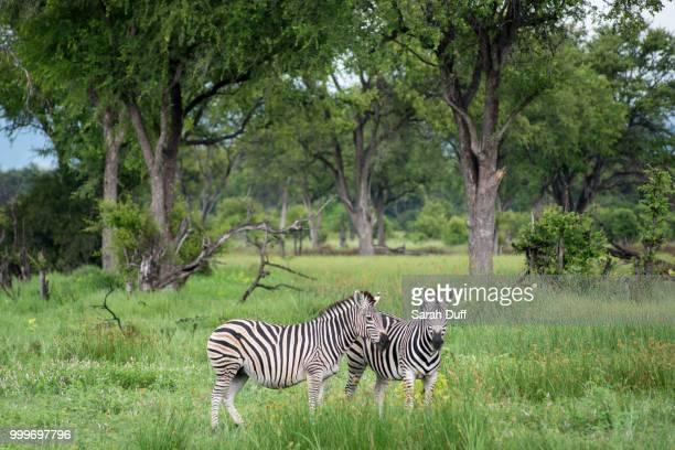 Zebras in Moremi National Park, Botswana