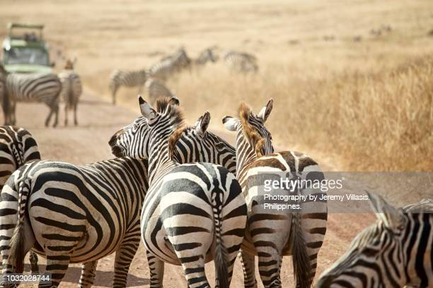zebras in ngorongoro crater - ngorongoro conservation area stock pictures, royalty-free photos & images