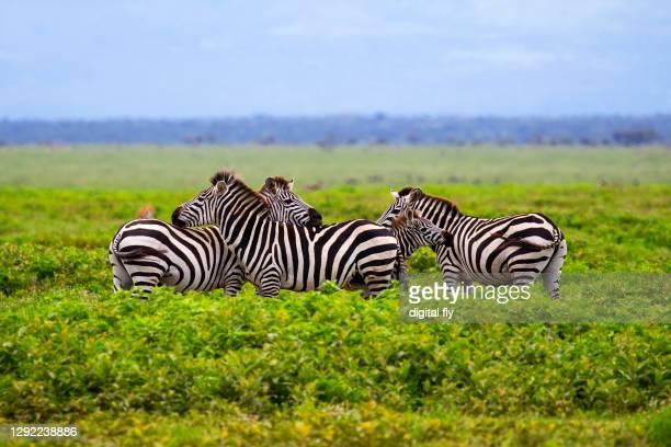 zebras in rain - erbivoro foto e immagini stock