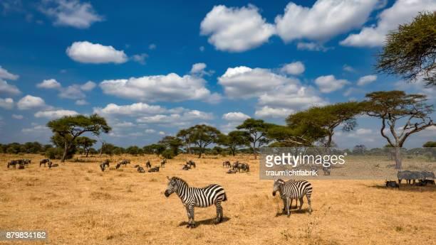 zebras in tarangire national park - tarangire national park stock pictures, royalty-free photos & images