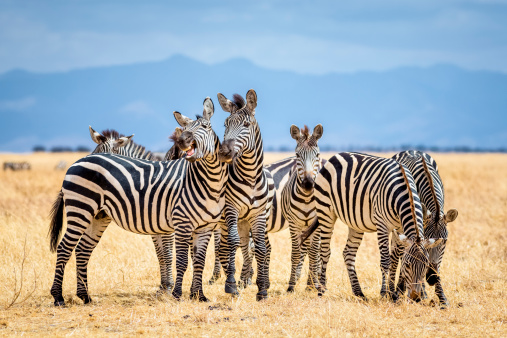 Zebras in Tarangire National Park / Tanzania 468961351