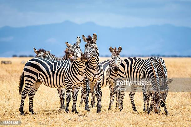 zebras in tarangire national park / tanzania - zebra stock pictures, royalty-free photos & images