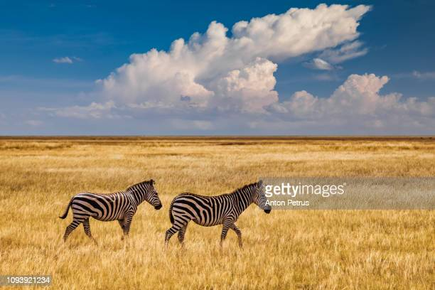 zebras in the grass nature habitat, national park of kenya. - lake nakuru stock photos and pictures
