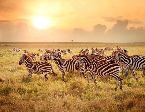 Zebras in the morning 160189580