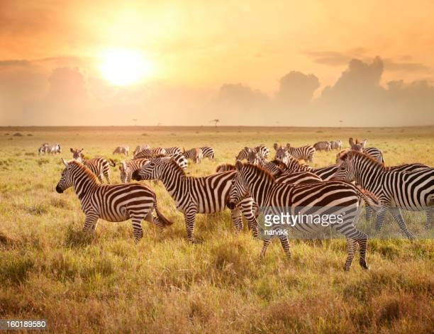 zebras in the morning - zebra stock pictures, royalty-free photos & images