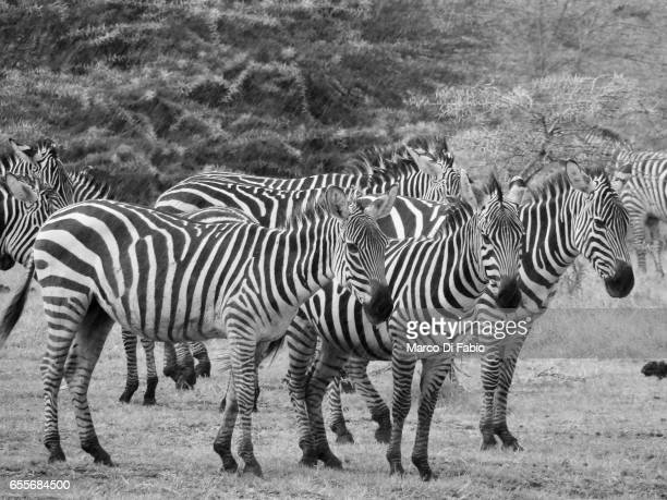 zebras in the rain - bianco e nero stock pictures, royalty-free photos & images
