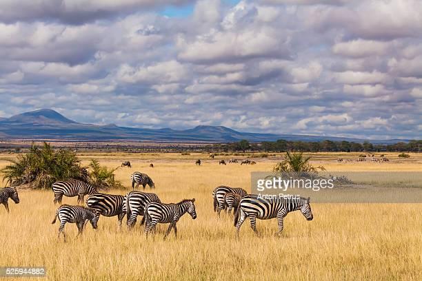 zebras in the savannah, amboseli, kenya - anton petrus stock pictures, royalty-free photos & images