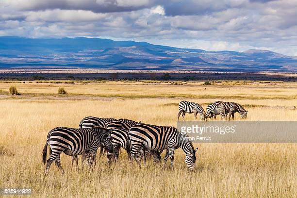 Zebras in the savannah, Amboseli, Kenya