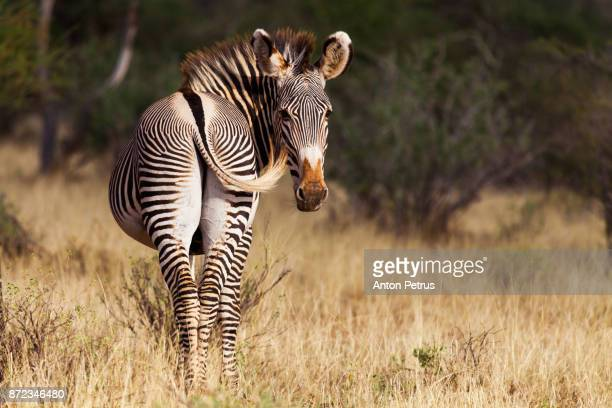 zebras in the savannah, amboseli, kenya - anton petrus stock pictures, royalty-free photos & images