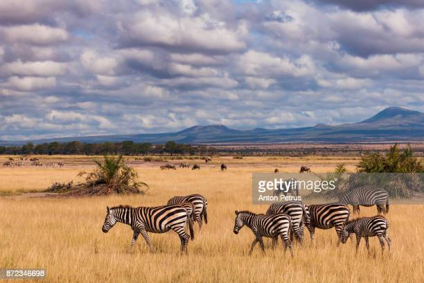 zebras in the savannah, amboseli, kenya - zebra stock pictures, royalty-free photos & images