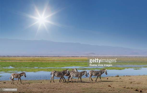 zebras in the savannah near a pond. - unesco world heritage site stock pictures, royalty-free photos & images