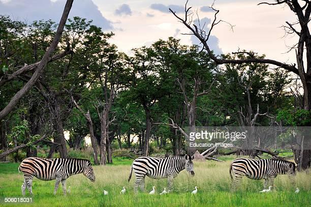 Zebras Moremi National Park Botswana