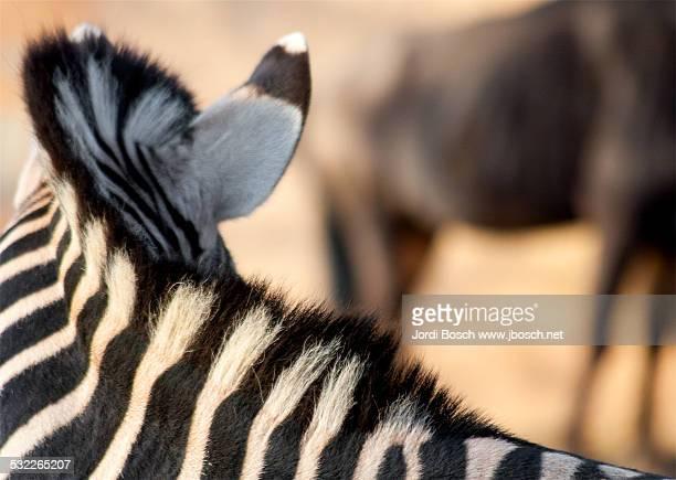 Zebra's neck