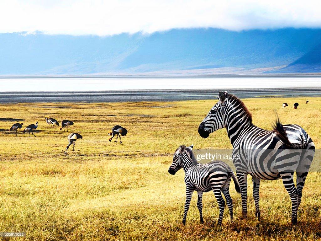 Zebras of Ngorongoro : Stock Photo