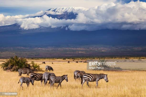 zebras on the background of mount kilimanjaro, kenya - herbivorous stock pictures, royalty-free photos & images