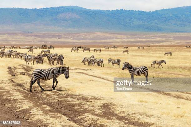 zebras on the meadow at ngorongoro conservation - arusha national park stock photos and pictures