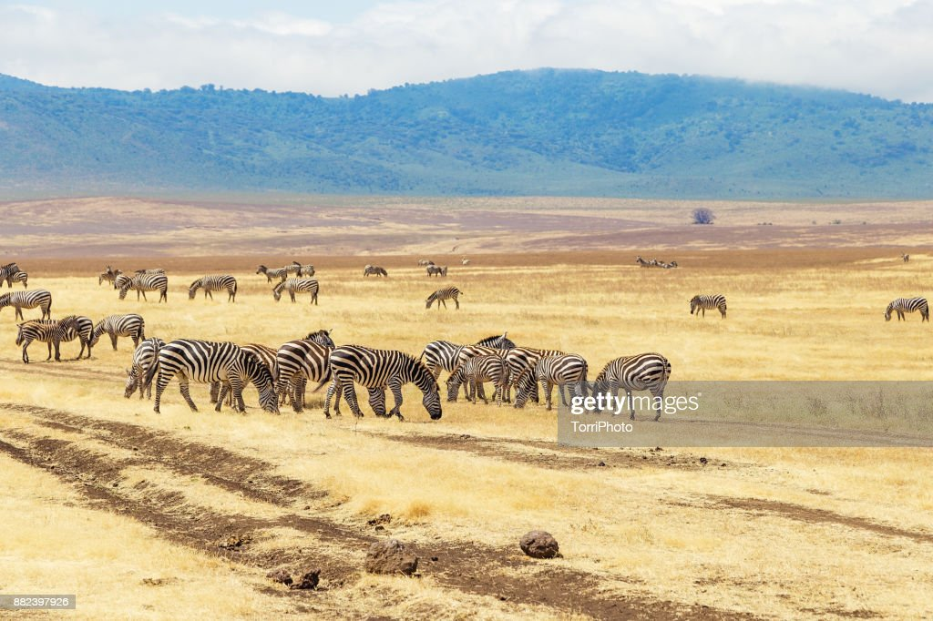 Zebras on the meadow at Ngorongoro Conservation : ストックフォト