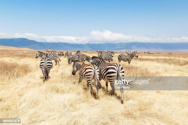 zebras on the meadow at ngorongoro conservation - zebra stock pictures, royalty-free photos & images