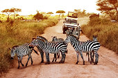 Africa, Tanzania, Serengeti - February 2016: Zebras on the road in Serengeti national park in front of the jeep with tourists.