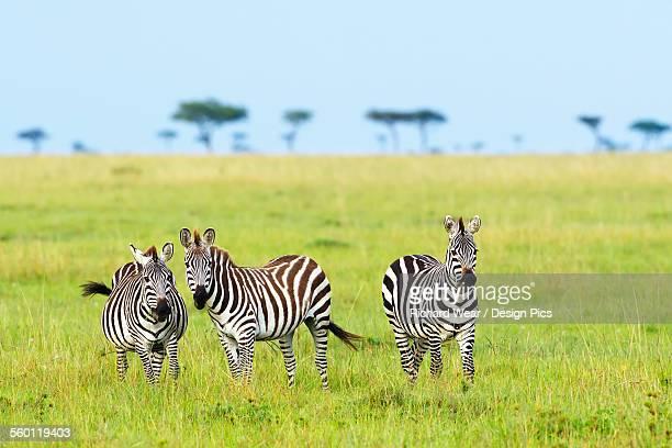 Zebras on the serengeti plains