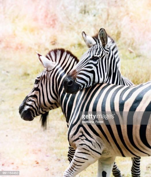zebras - svetlana stock photos and pictures