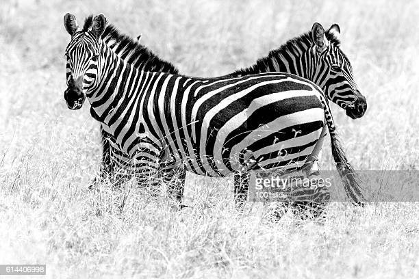 Zebras - predator watching