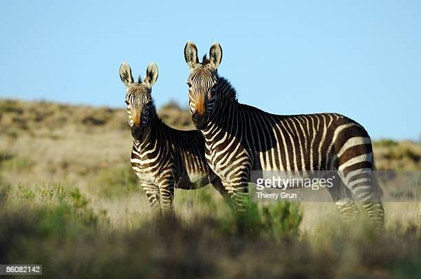 Zebras, South Africa