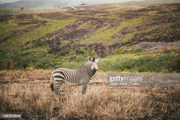 zebras standing on grassy field - mossel bay stock pictures, royalty-free photos & images
