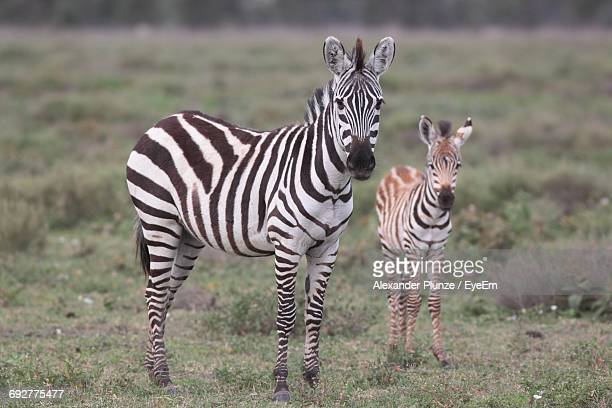zebras standing on grassy field - zebra stock pictures, royalty-free photos & images