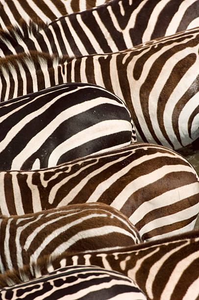 Zebras' (Equus quagga) stripes, Masai Mara, Kenya