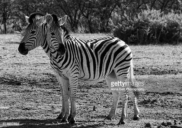 Zebra's two heads, Khama Rhino Sanctuary