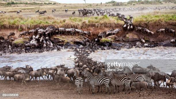 Zebras waiting to cross