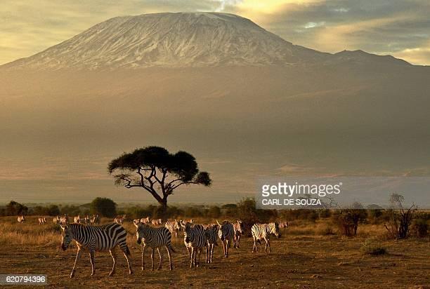 Zebras walk in front of Mount Kilimanjaro in Amboseli National Park on November 3 2016 / AFP / CARL DE SOUZA