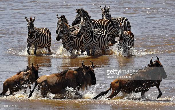 Zebras walk towards crossing wildebeest in the Mara river during the annual wildebeest migration in the Masai Mara game reserve on September 13 2016...